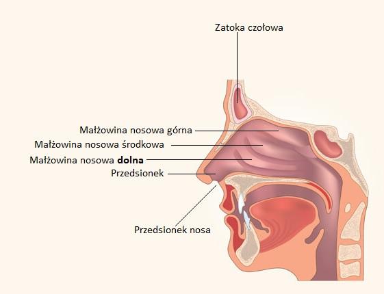 małzowina nosowa dolna